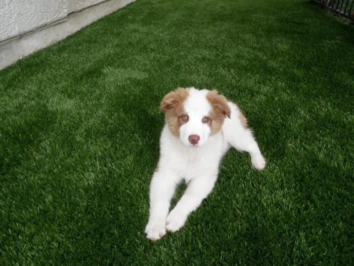 chien blanc mignon sur gazon synthétique